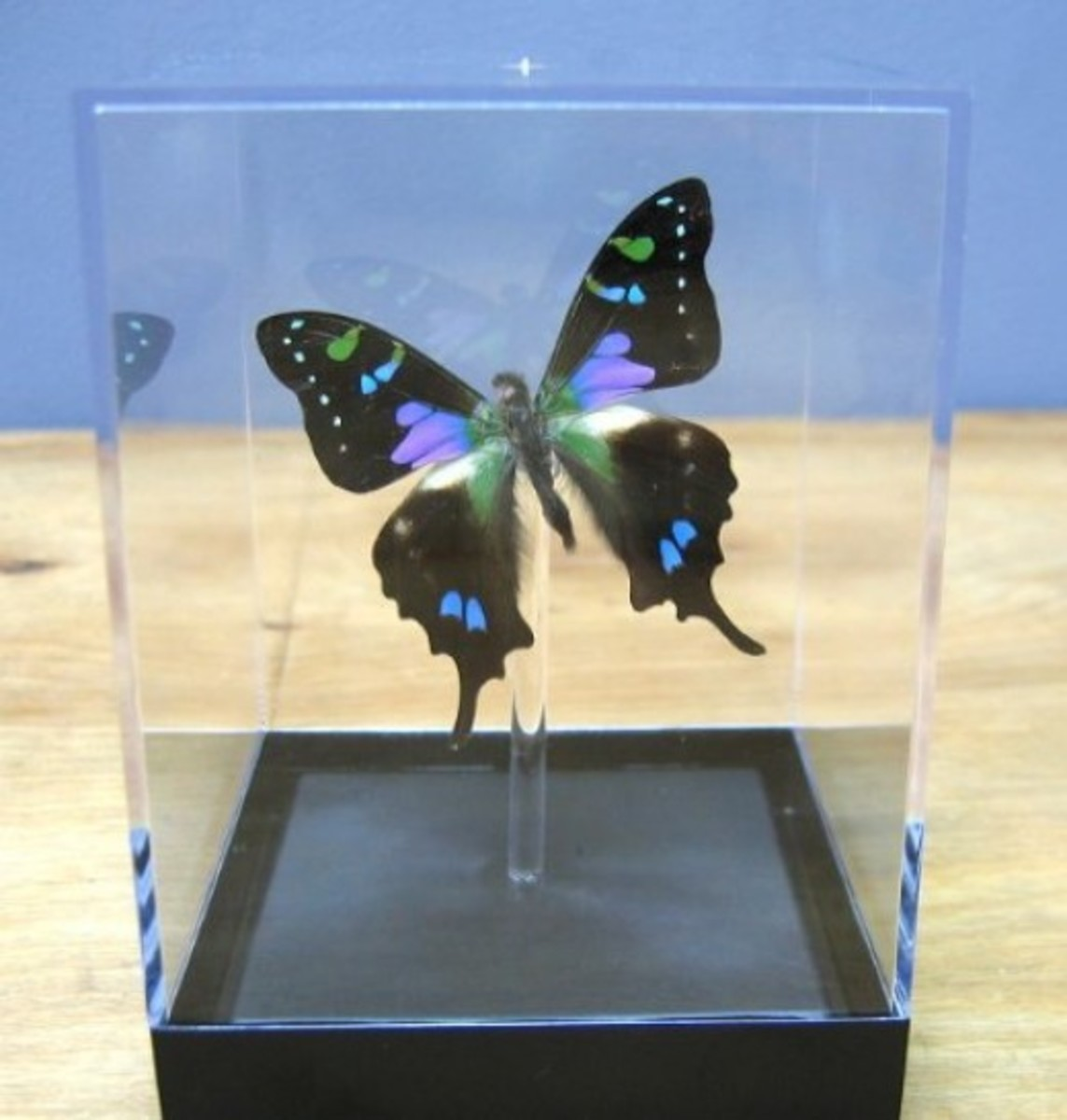 Purple Spotted Swallowtail (Graphium Weiskei)