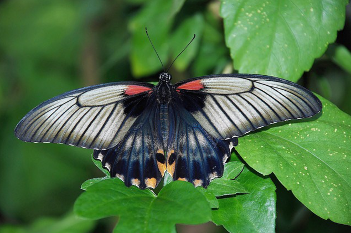 Black and White Butterfly with Red Dots