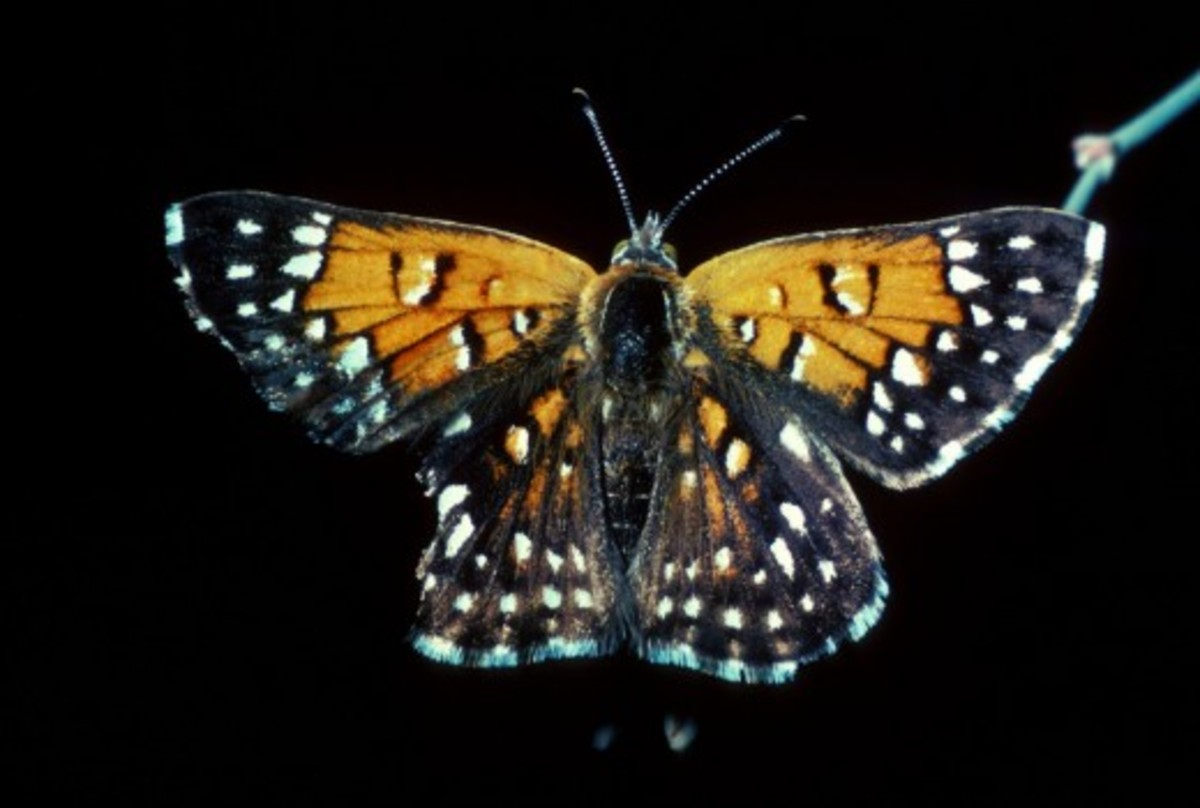 Orange and Black Lange's Metalmark Butterfly – Note the damage to butterfly's wings.