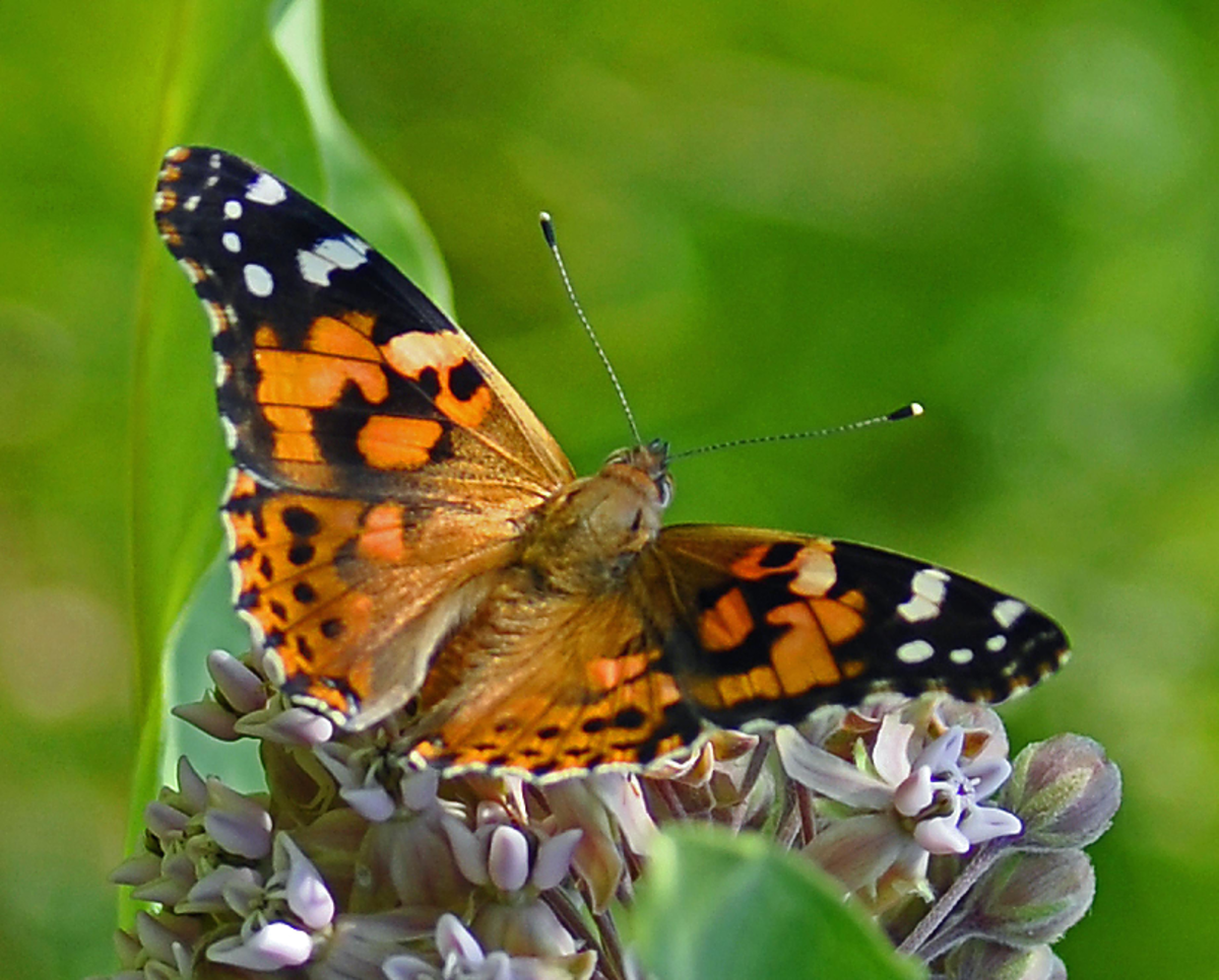 Orange and Black Halloween Butterfly on Flowers
