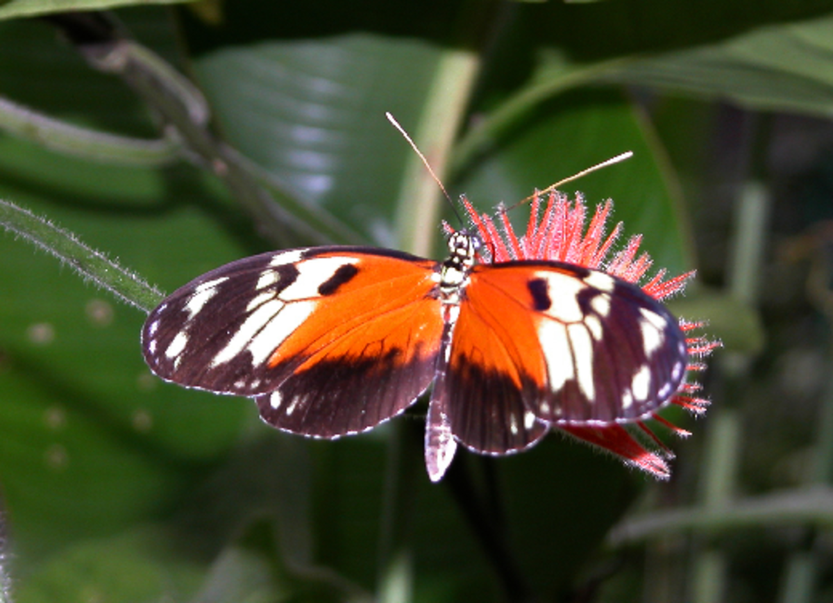 Orange and Black Butterfly Picture