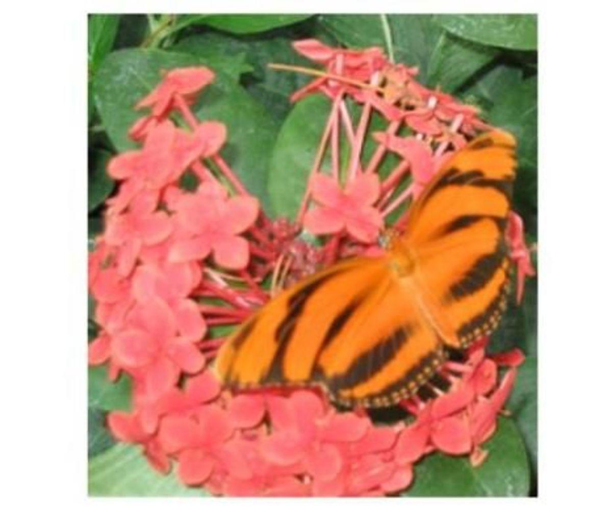 Orange Tiger Butterfly (Dryadula Phaetusa)