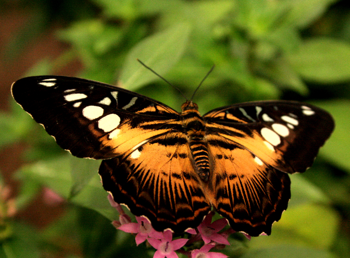 Orange and Black Halloween Butterfly – This specie is called 'Painted Lady' or 'Cosmopolitan' (Vanessa cardui).