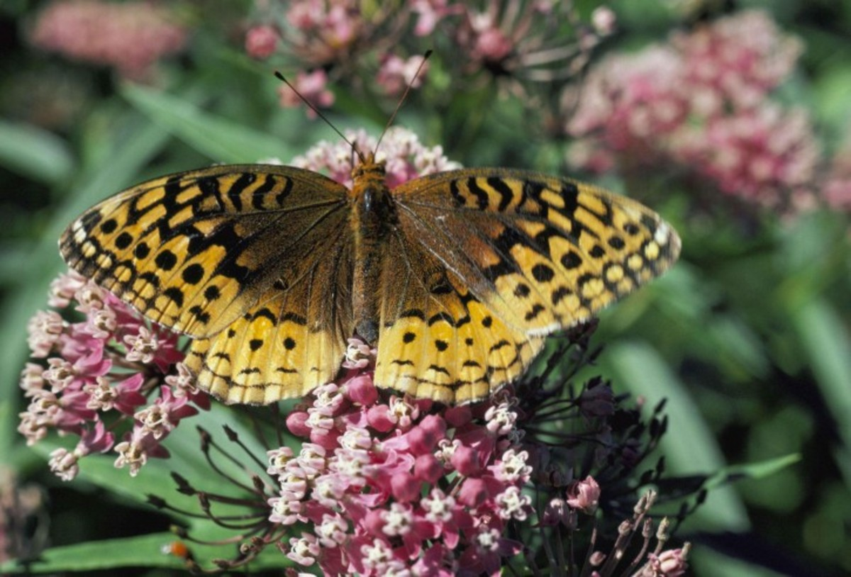 Great Spangled Fritillary Butterfly (Clossiana Frigga)