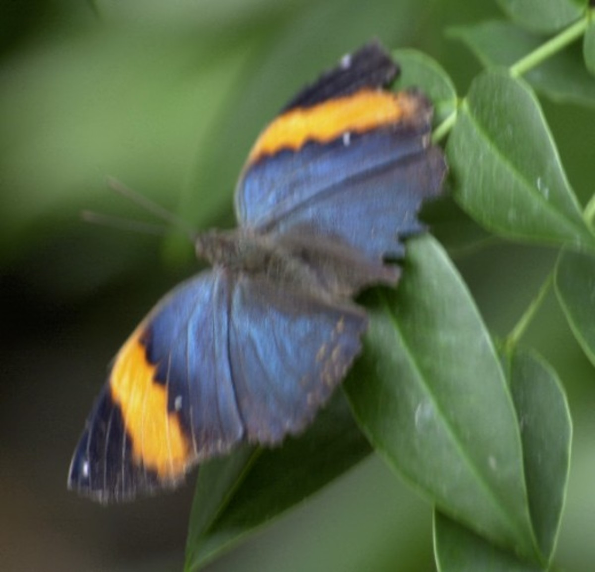 Blue Butterfly with Gold Wingtips