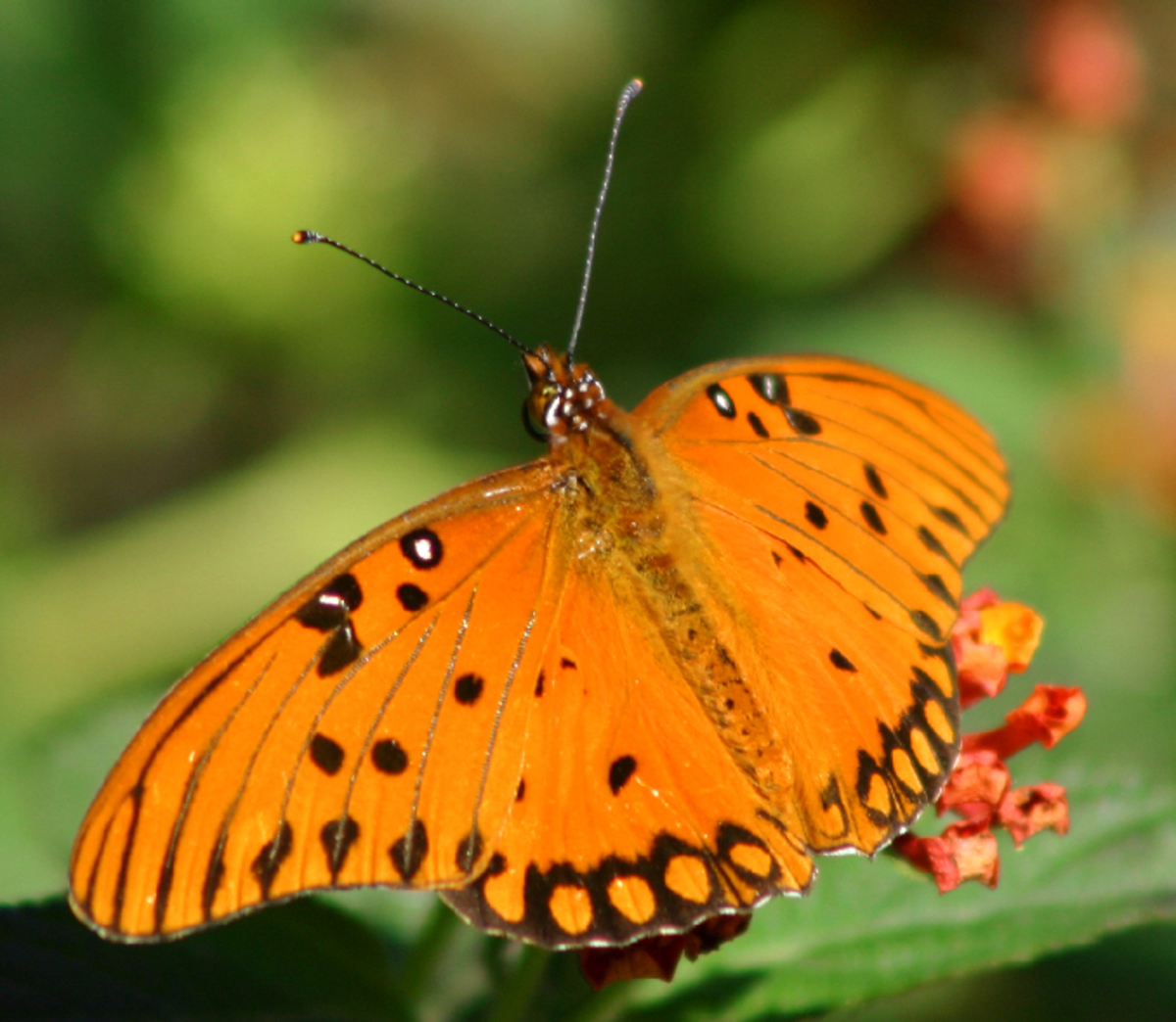Orange Butterfly with Black Polka Dots