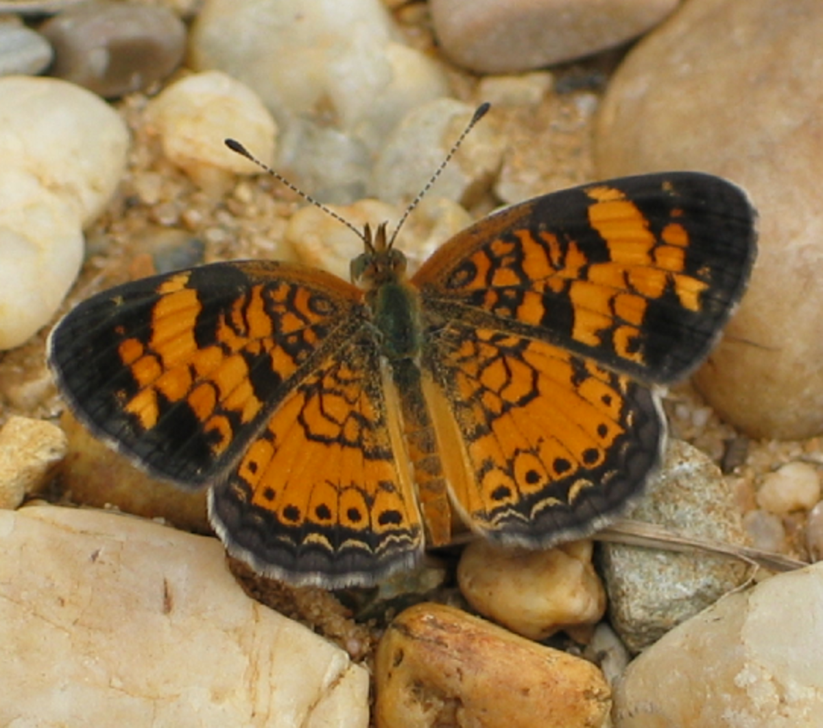 Orange and Black Butterfly with Lace Pattern