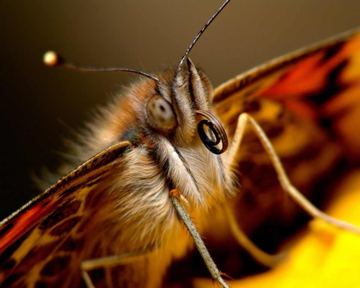 Image of Butterfly Face