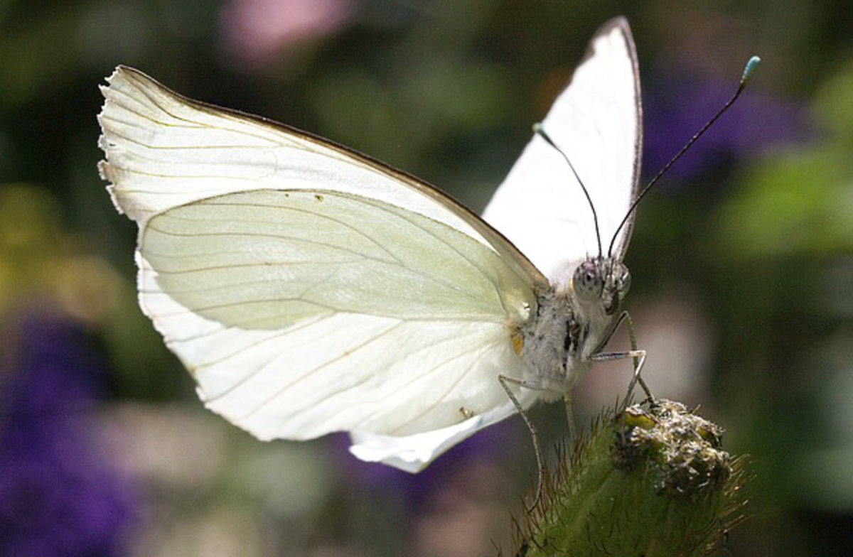 White Butterfly Smiling for the Camera