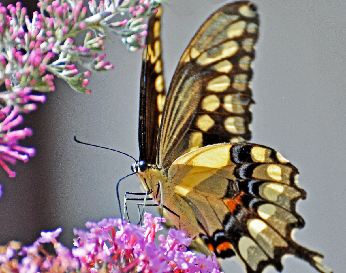 Closeup Picture of Yellow Swallow Tail Looking Directly at the Photographer
