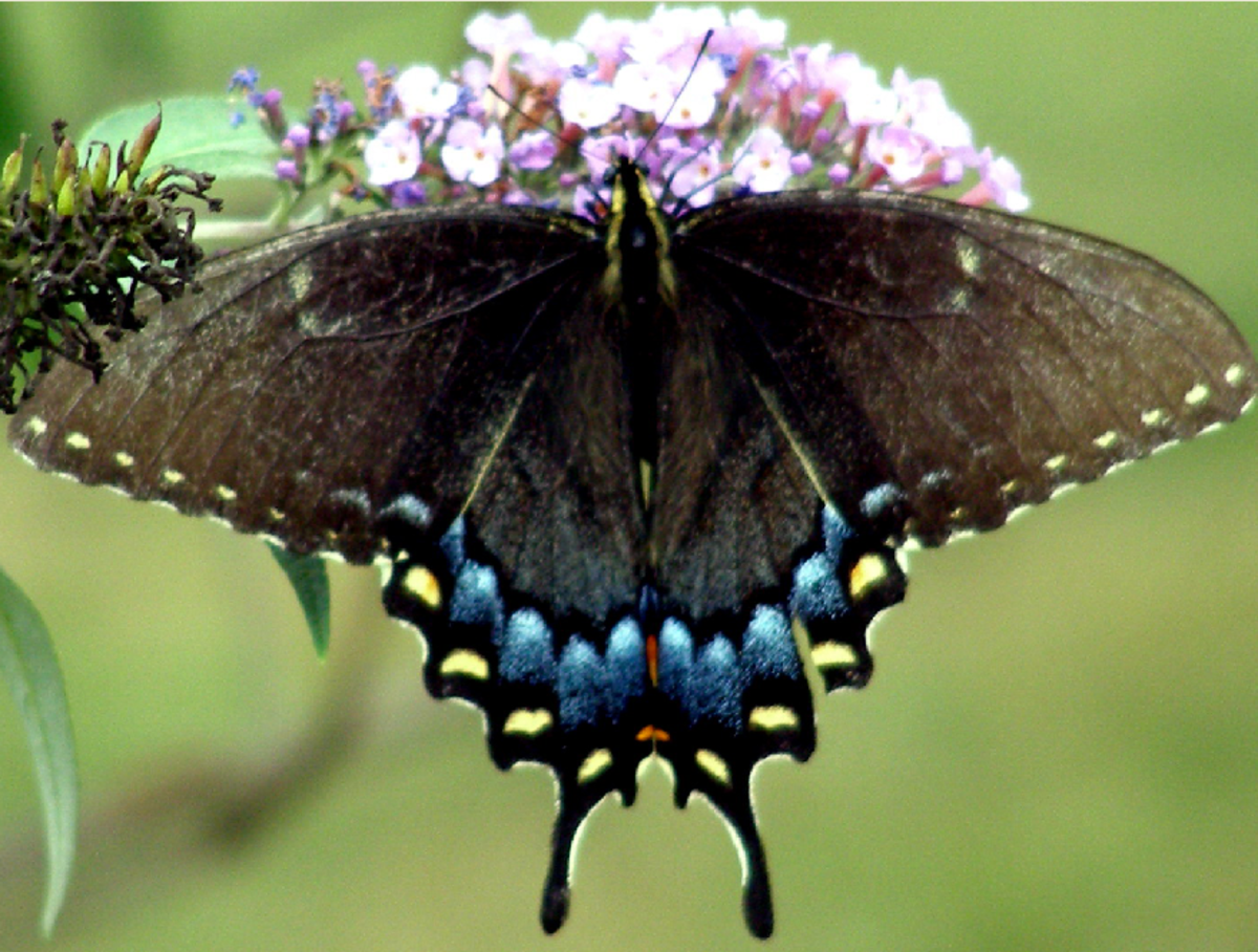 Black Swallow Tail Butterfly with Blue