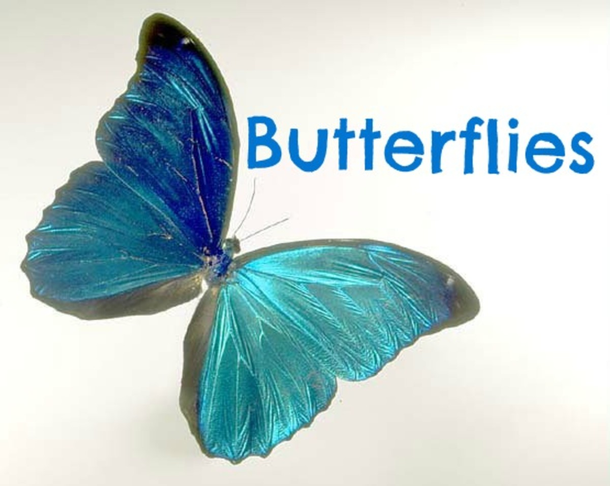 A Morpho butterfly picture.