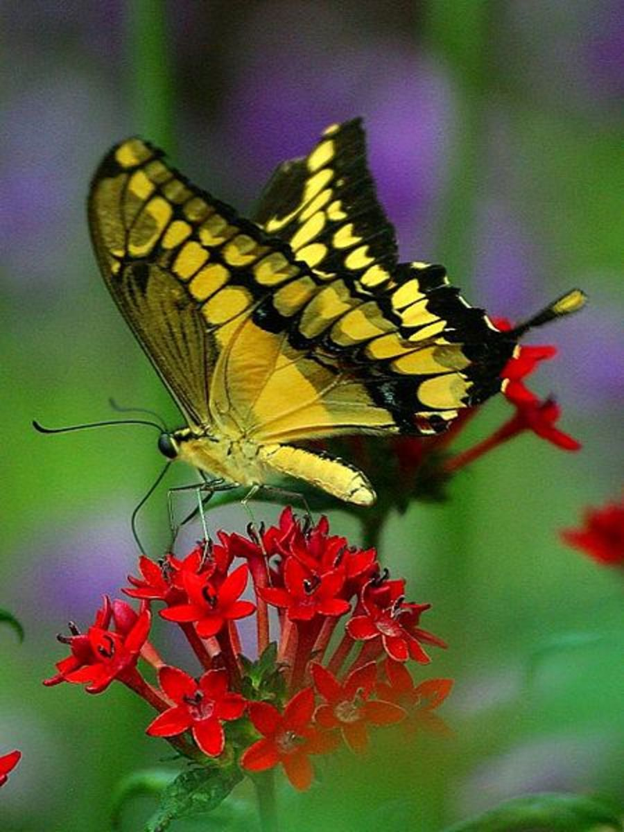 Yellow Swallow Tail Drinking Nectar from Red Flowers