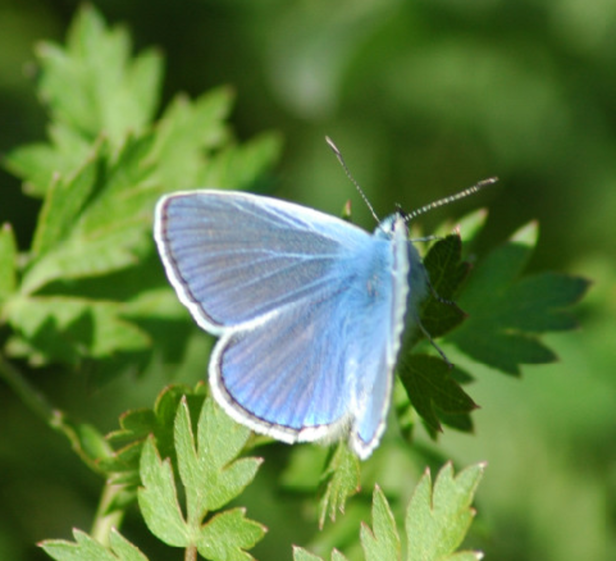 Baby Blue Butterfly