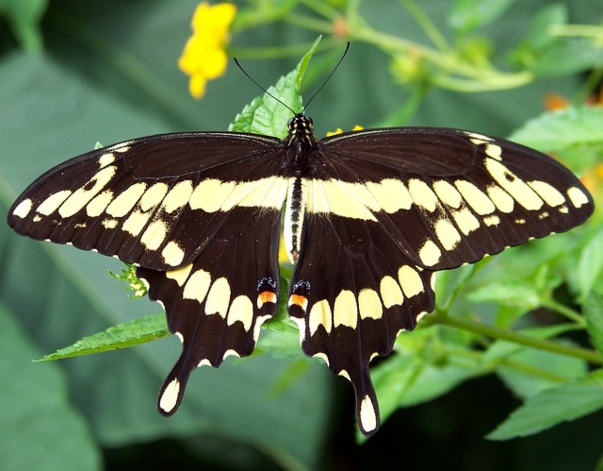 Black Swallowtail Butterfly with Yellow