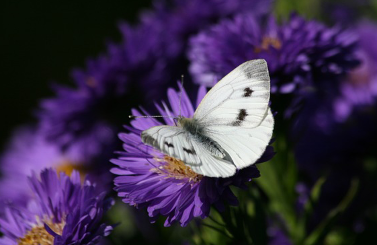 White Butterfly with Purple Flowers