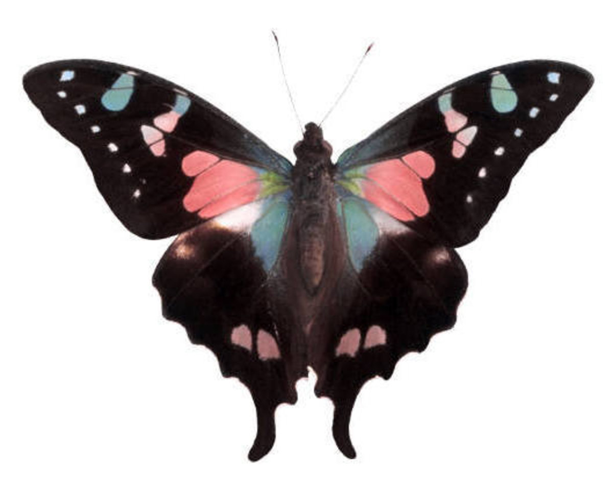 Pink Swallowtail Butterfly