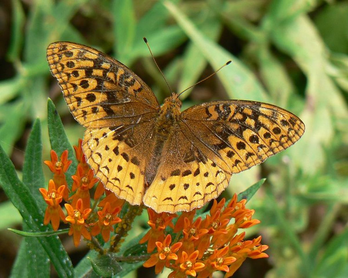 Great Spangled Fritilary Brown Butterfly on Butterfly Weed (Asclepias tuberosa) Flowers