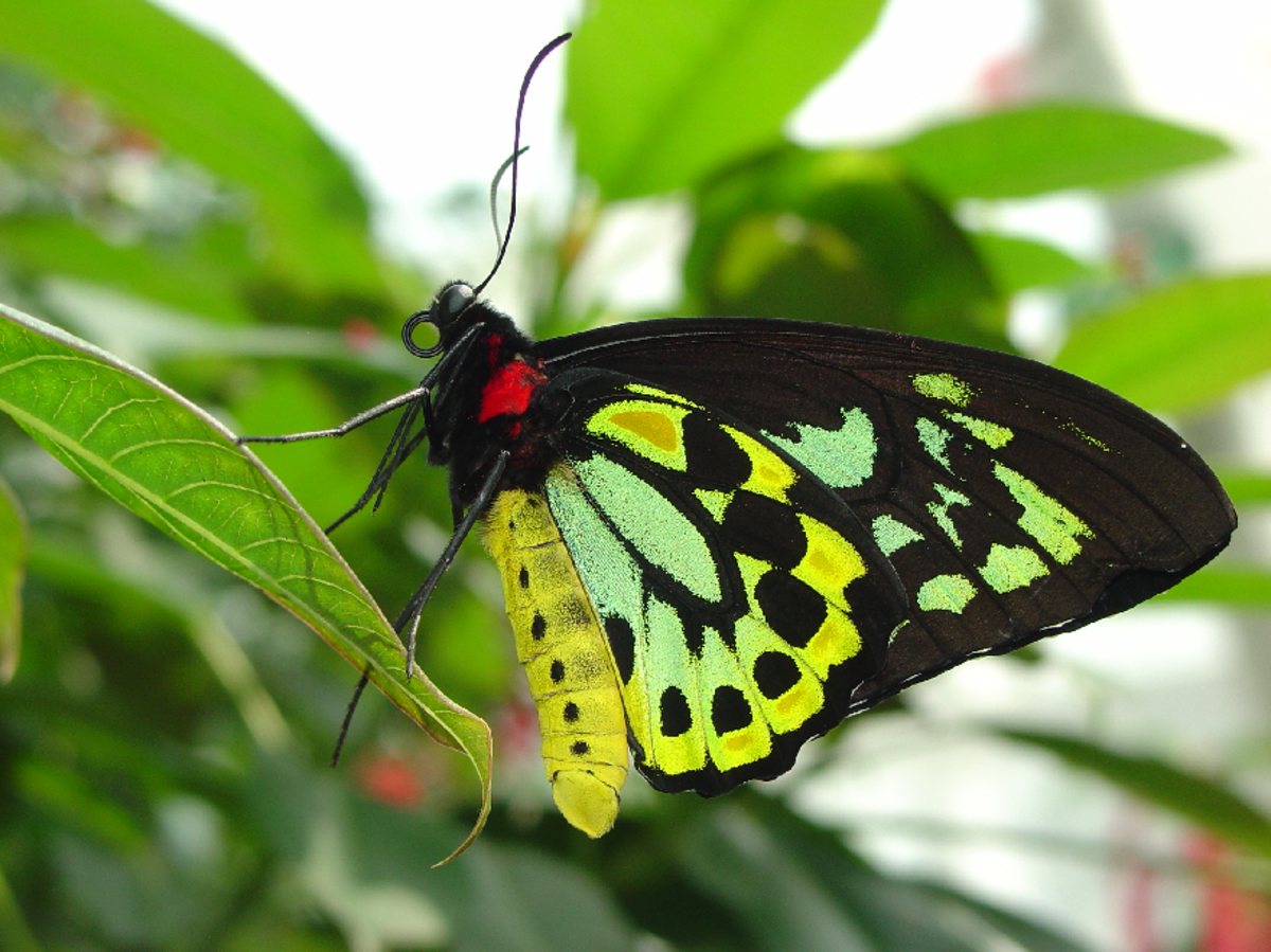 Butterfly with Green Wings