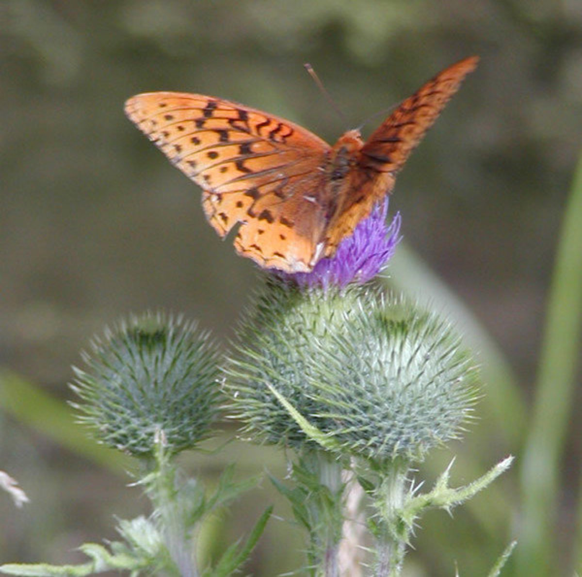 Aphrodite Fritillary (Speyeria Aphrodite) Orange Butterfly Feeding on Purple Thistle