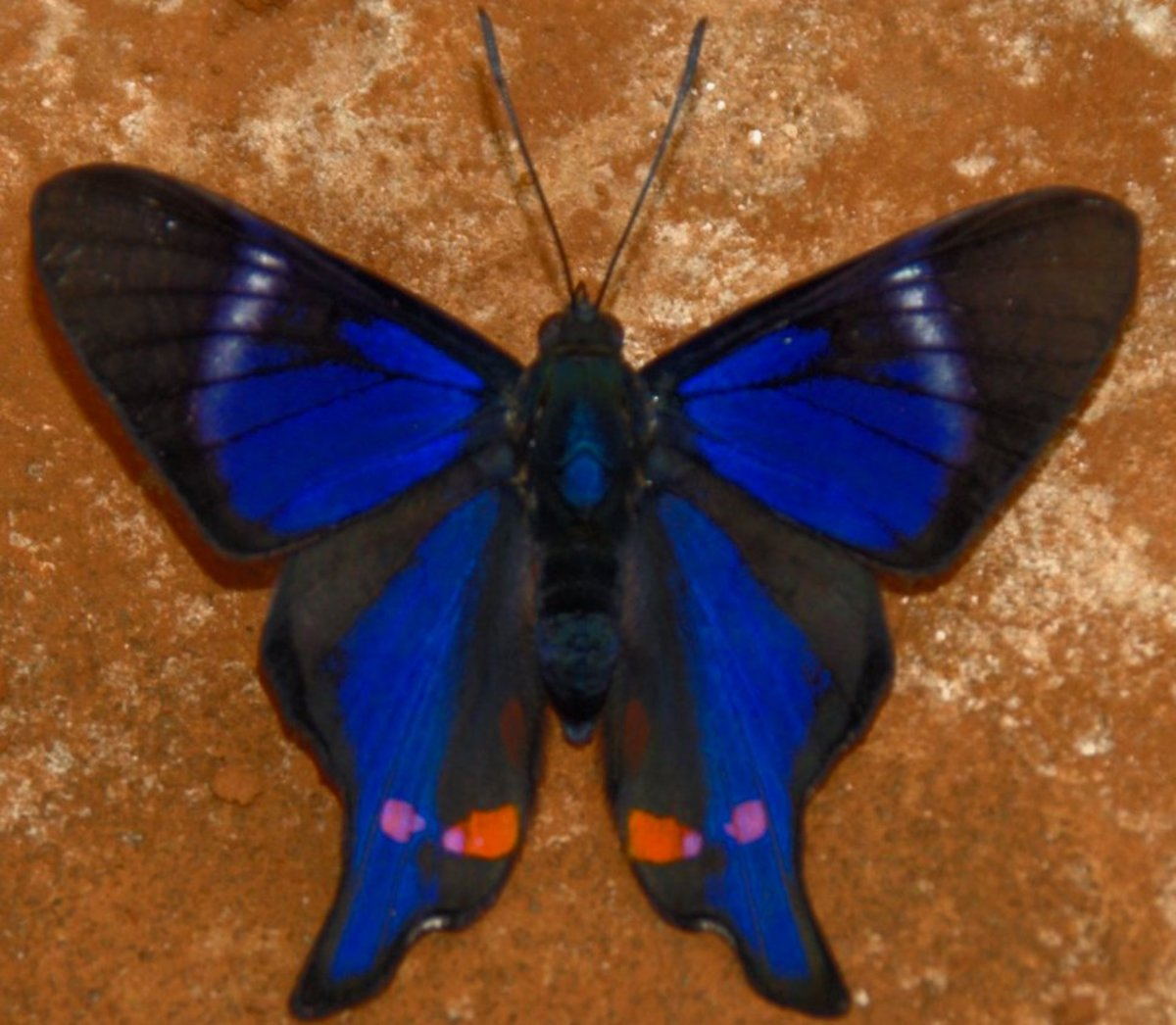 Iridescent Rhetus Butterfly from Brazil