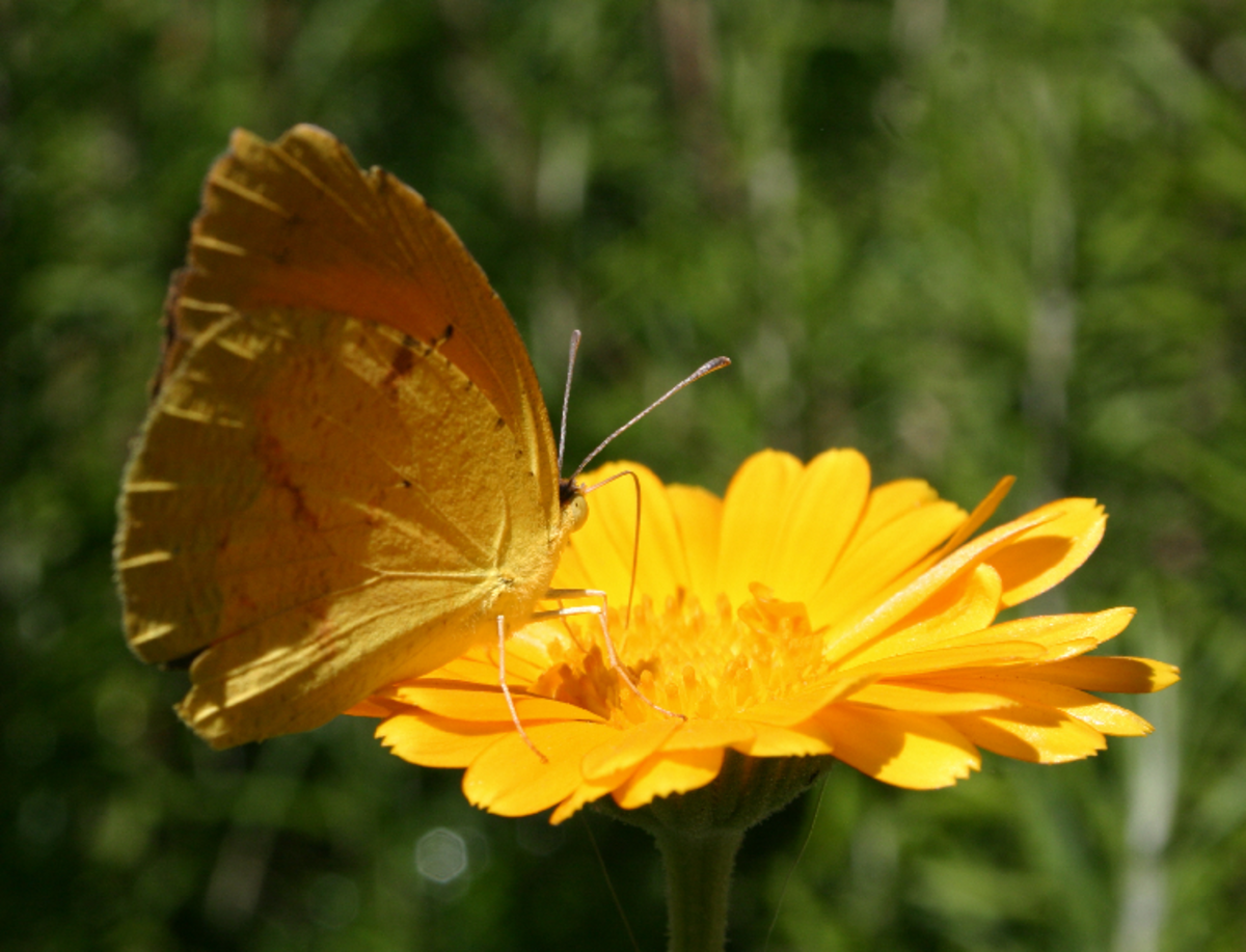 Small Grass Yellow or Broad-bordered Grass Yellow Butterfly (Eurema Brigitta) on Yellow Flower