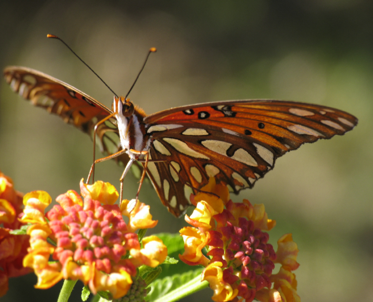 Orange Butterfly Drinking Nectar from Orange Flowers