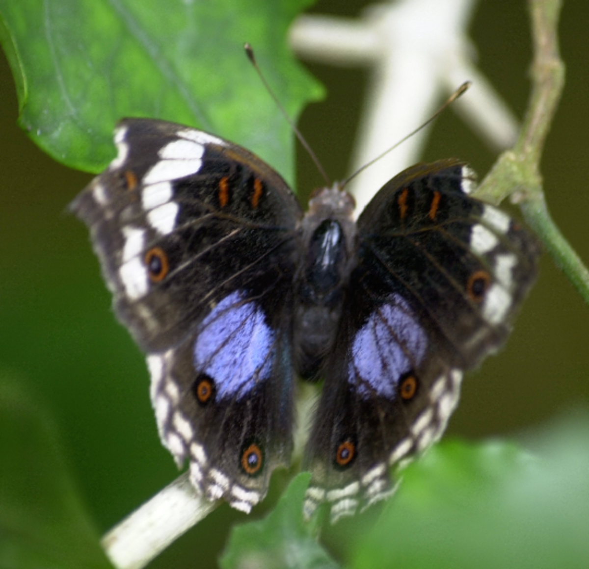 Black Butterfly with Purple Dots
