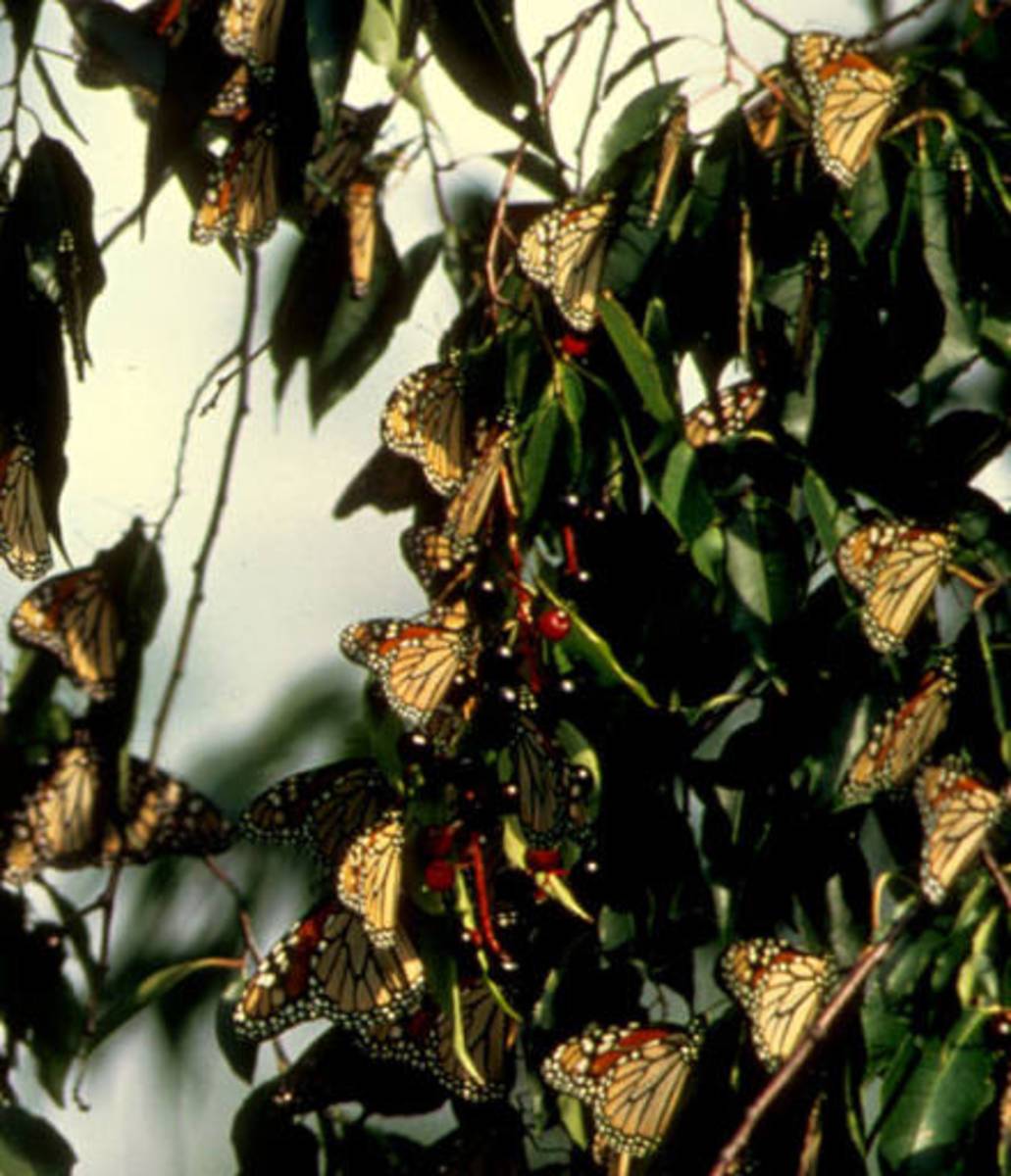Migrating Monarch Butterflies Resting in a Tree