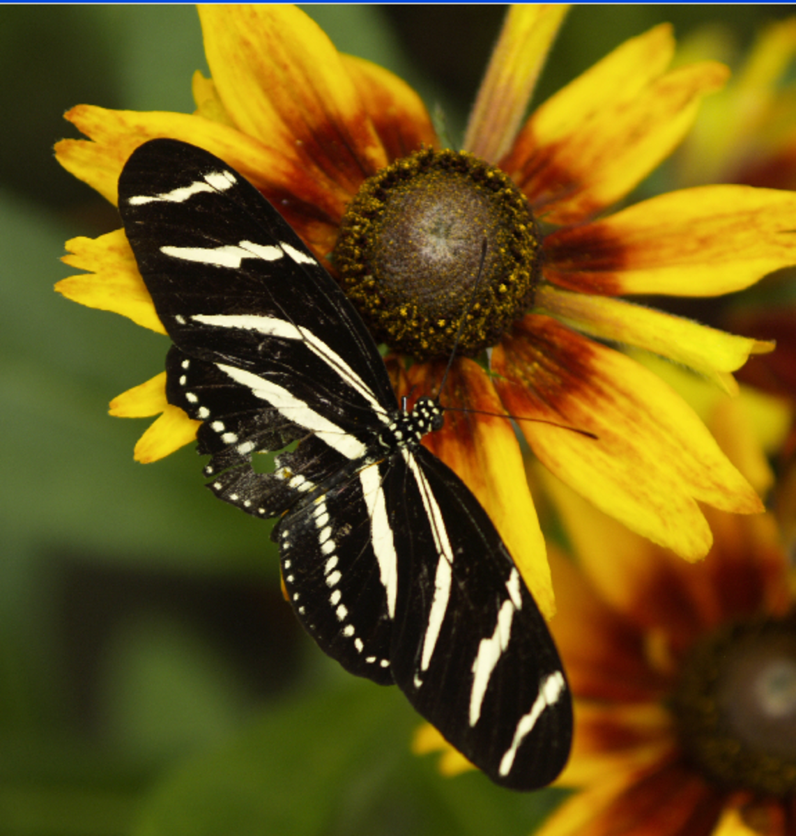 Zebra Black and White Striped Butterfly on Sunflower
