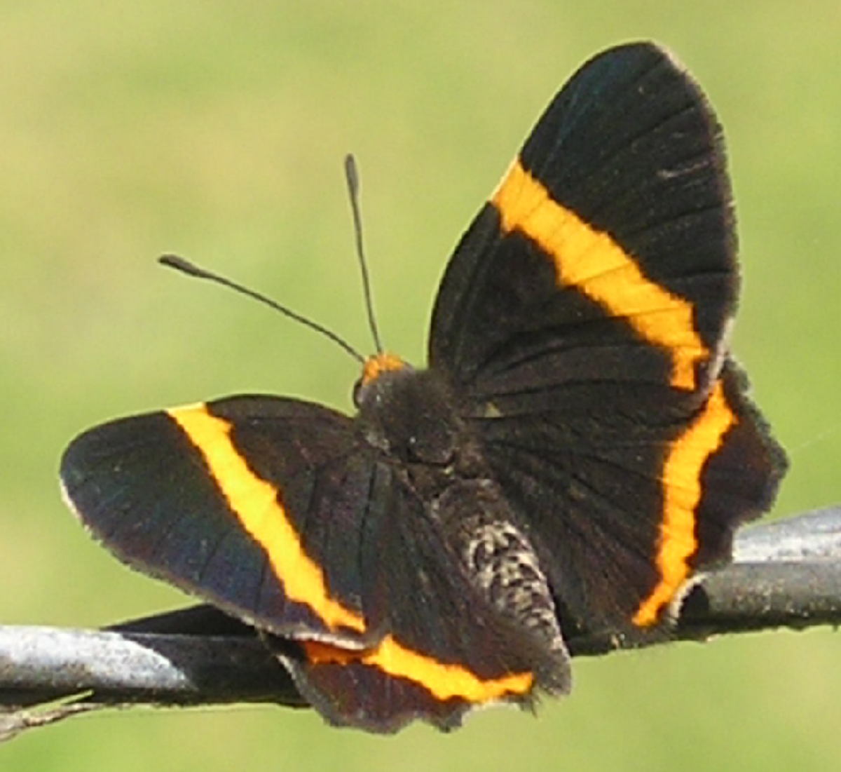 Black Butterfly with Golden Stripes