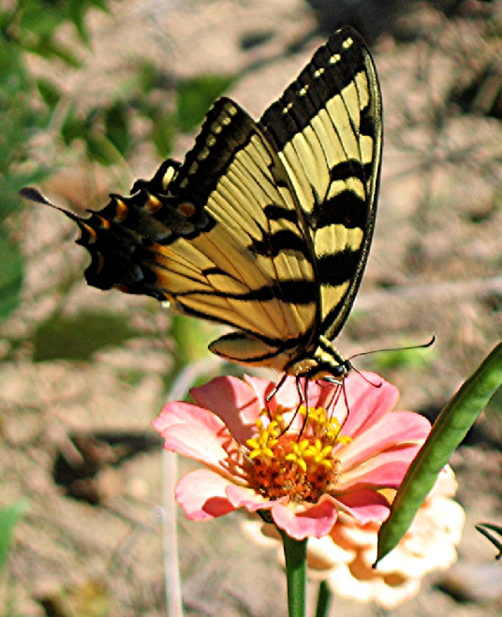 Yellow Swallow Tail Butterfly on Pink Flower