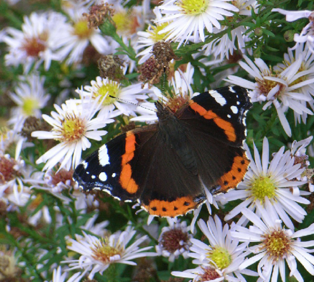 Black Admiral Butterfly