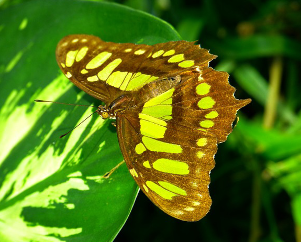 Malachite Green Butterfly
