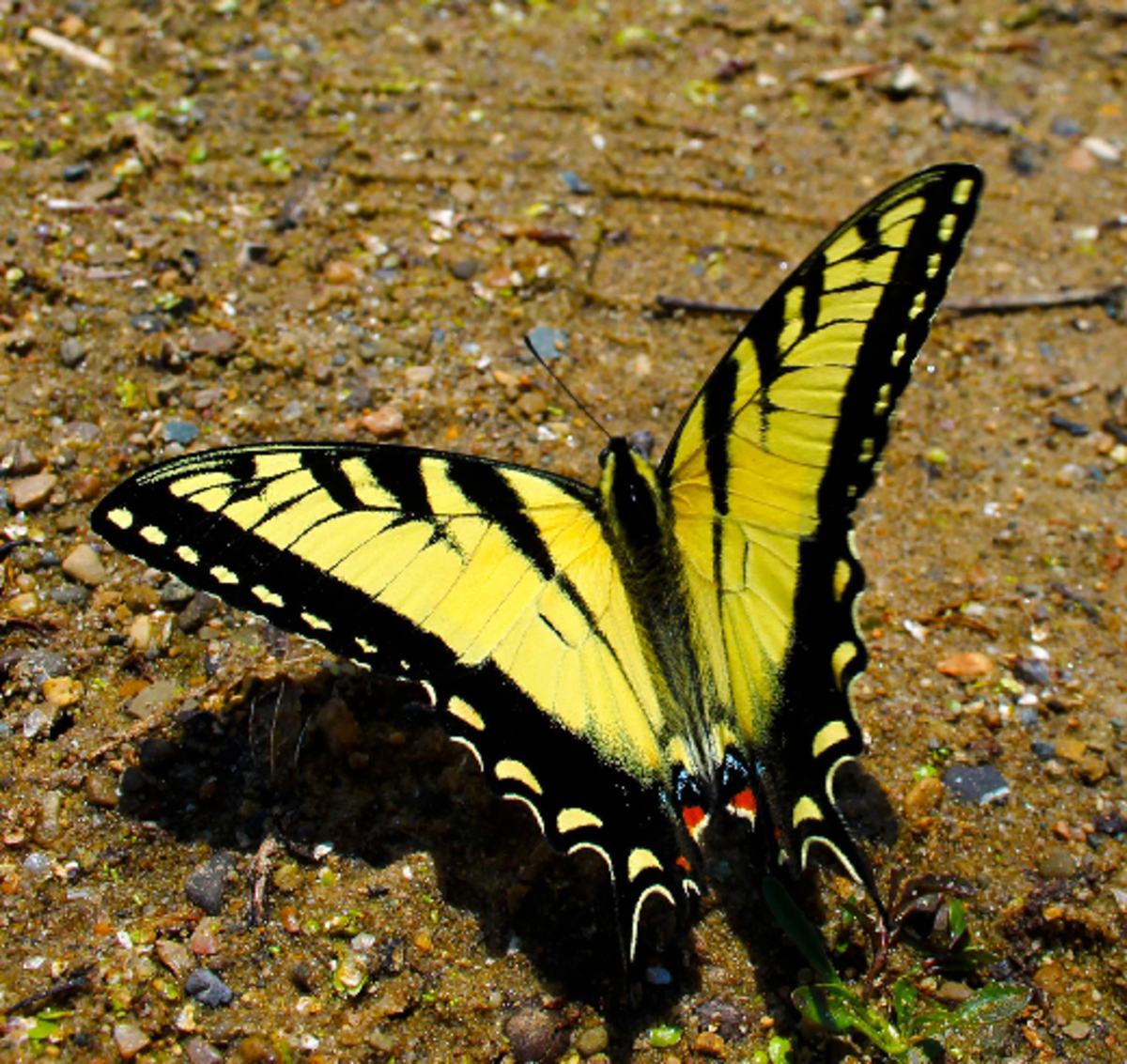 Vibrant Yellow Swallow Tail Butterfly