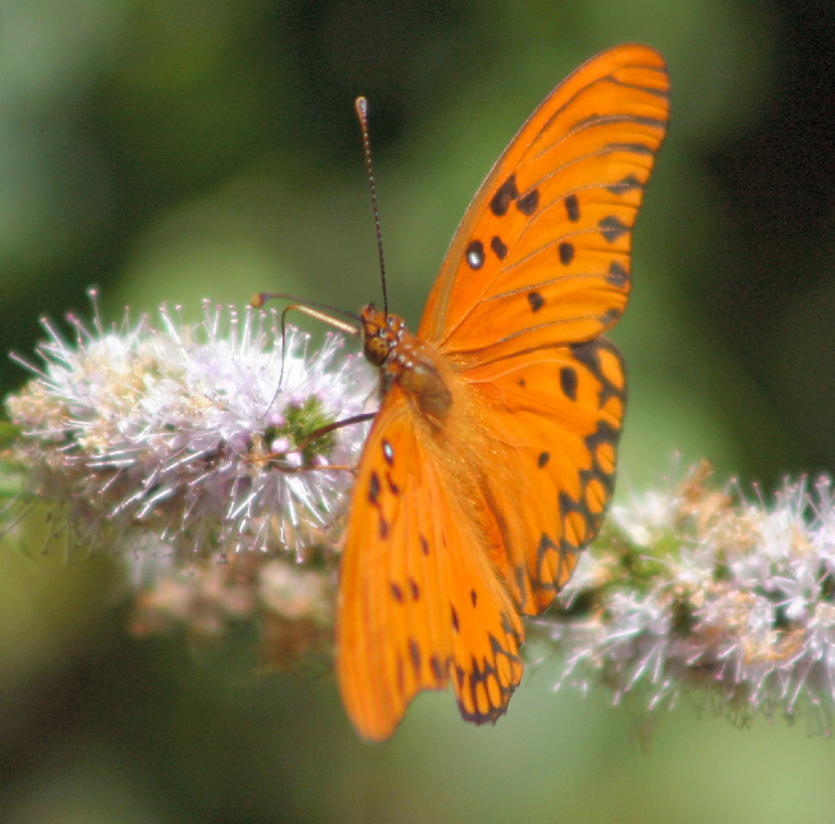 Orange Butterfly on Blossoms