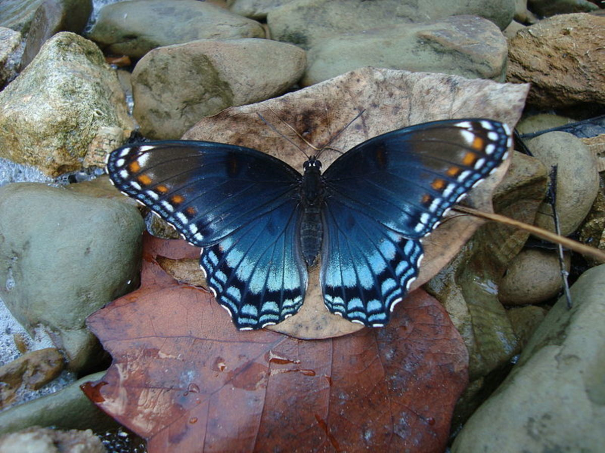 White Admiral Blue Butterfly