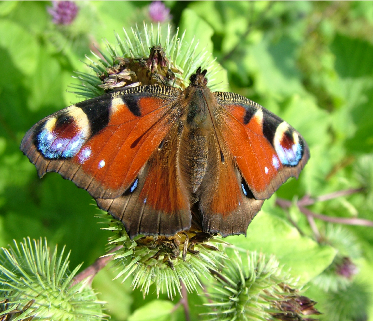 Orange Peacock Butterfly