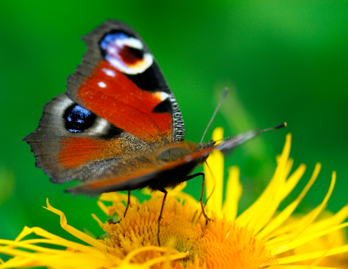 Orange Peacock Butterfly on Yellow Flower