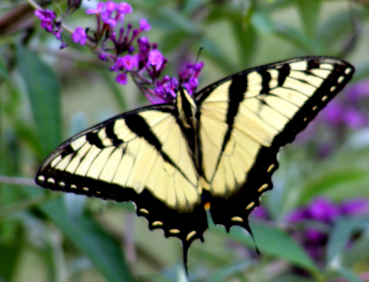 Yellow Swallow Tail Butterfly and Purple Flowers