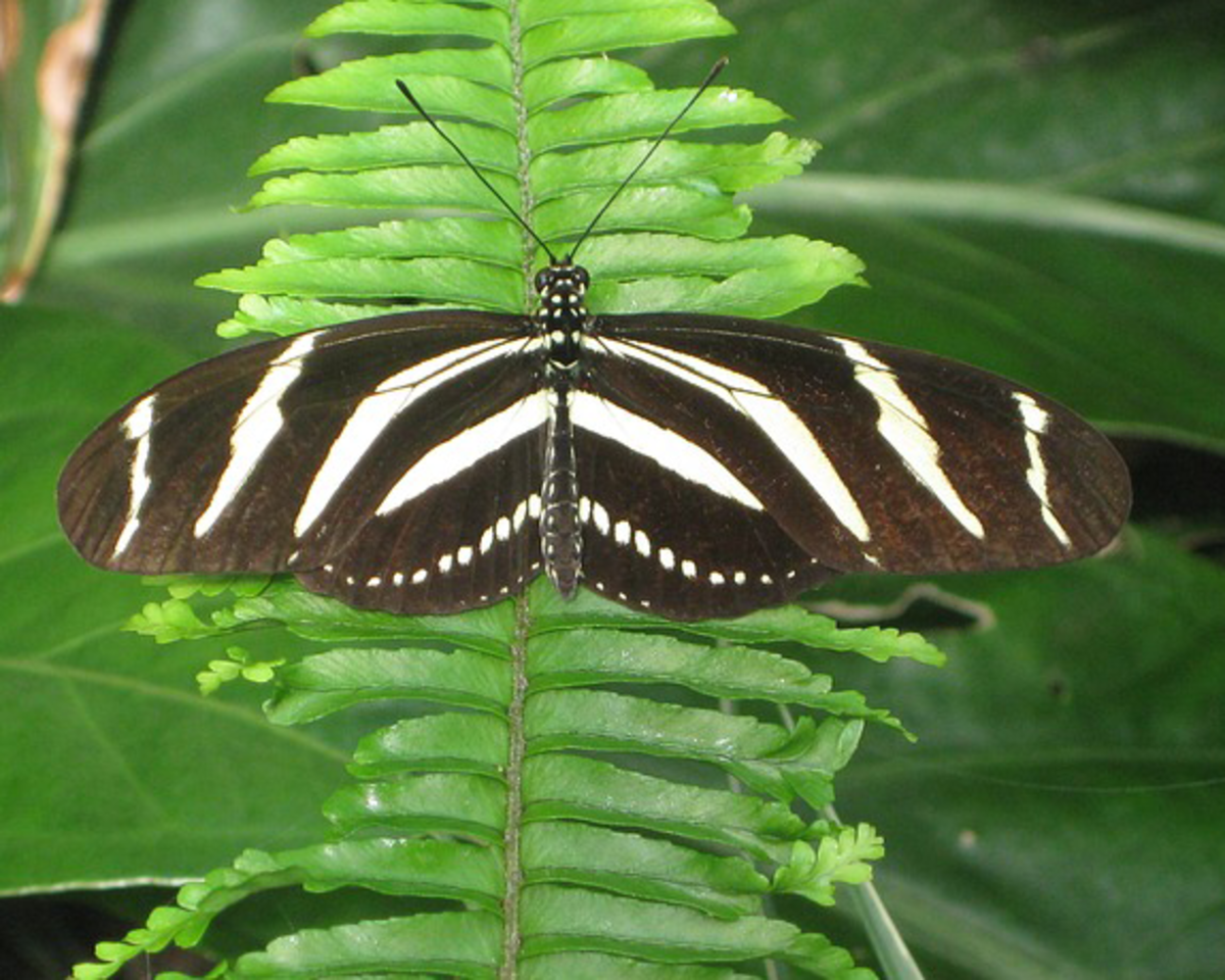 Zebra Striped Butterfly