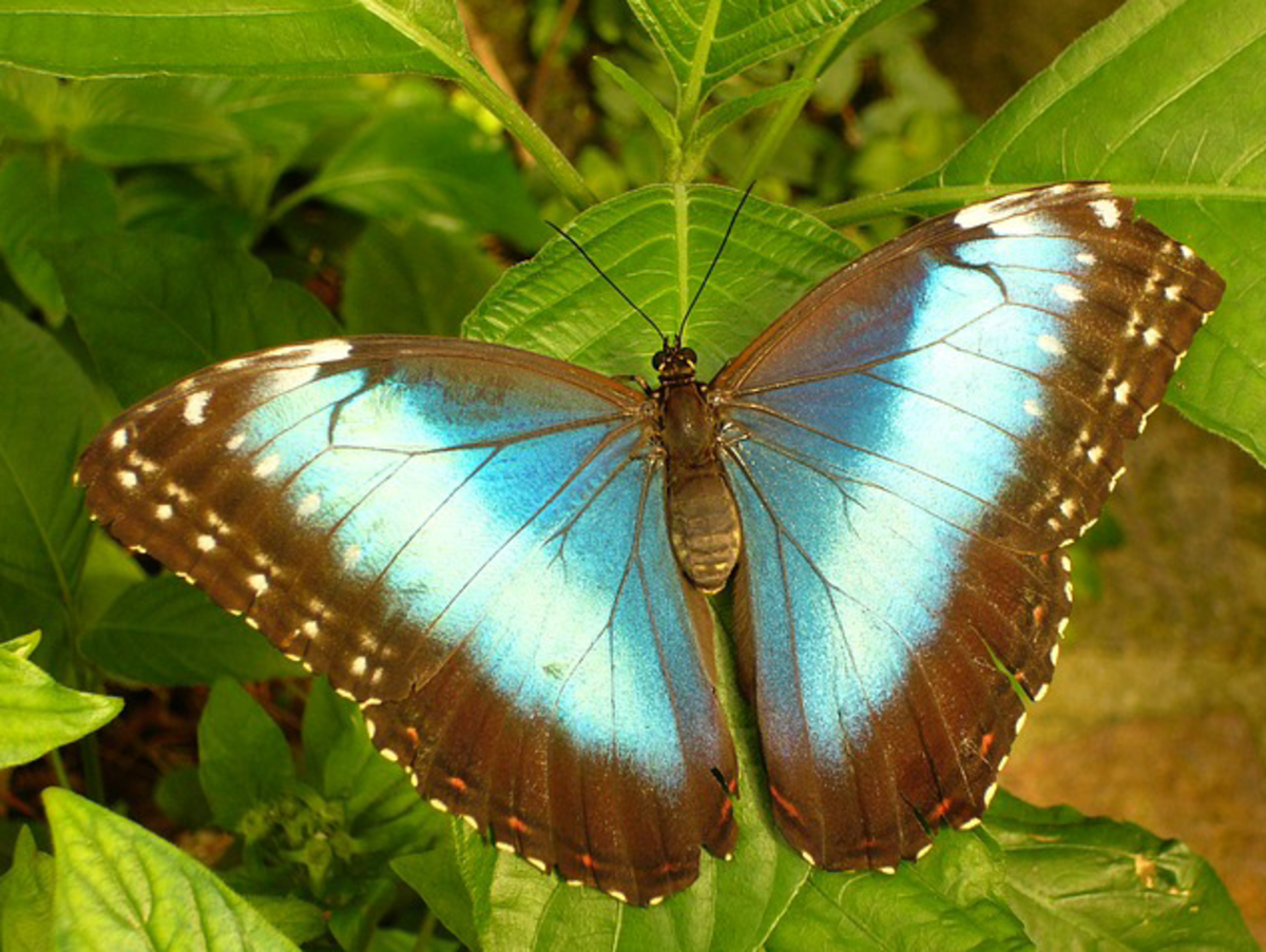 Blue Morphofalter Butterfly