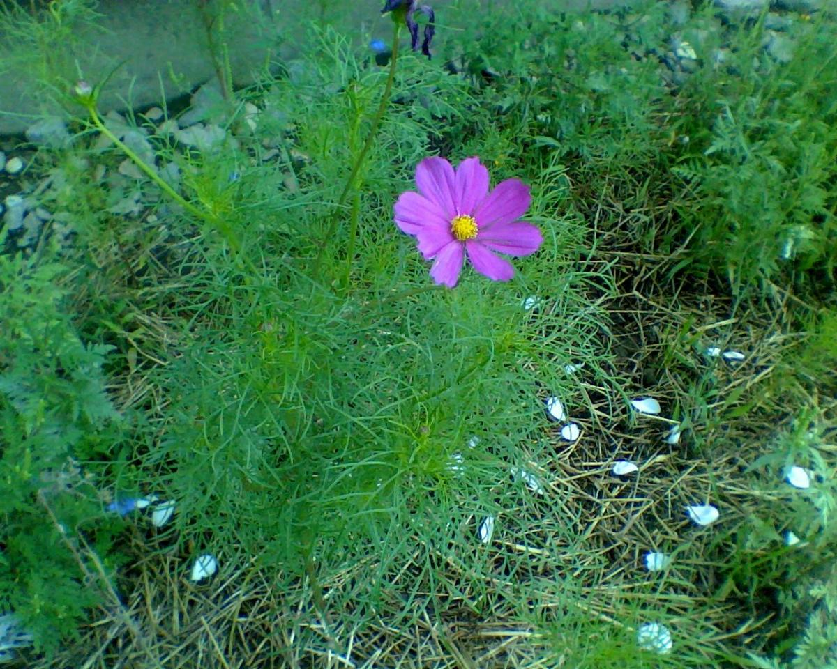 A wildflower in my garden