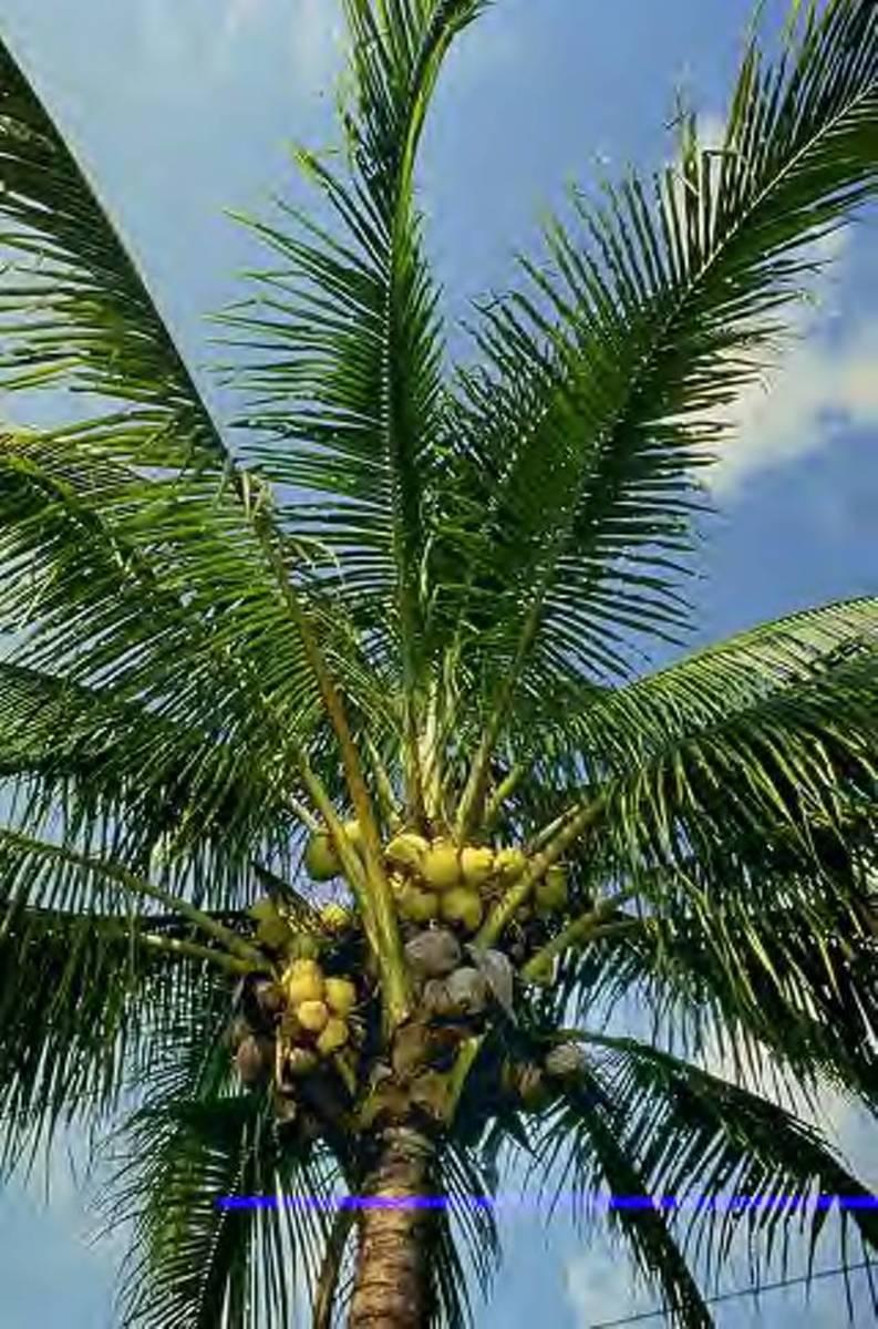philippine-coconuts-the-copra-making-process