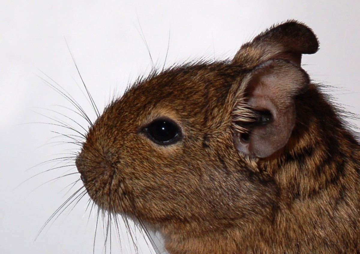 What is a Degu? Buying a Degu - Degu Cages - Caring for a Degu - Degu Food