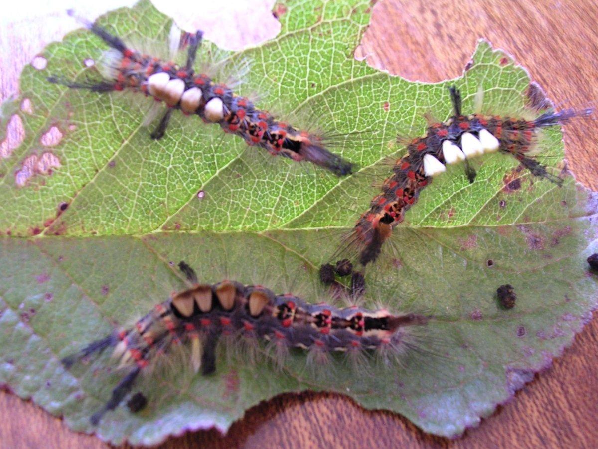 Vapourer moths feeding on leaves