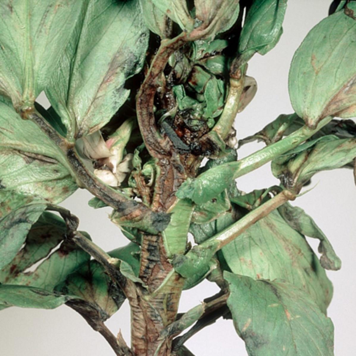 Stem & bulb eelworm damage to bean stem