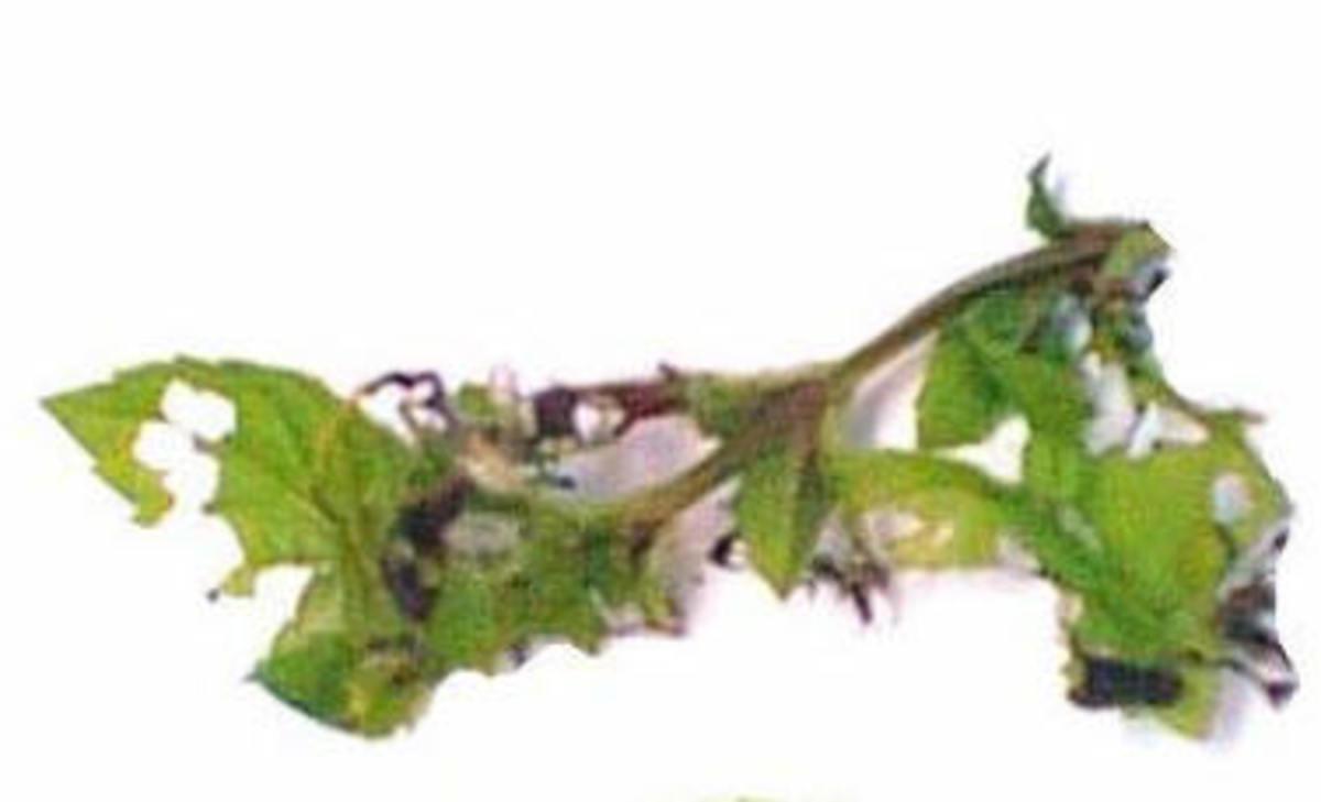 Tortrix moth damage