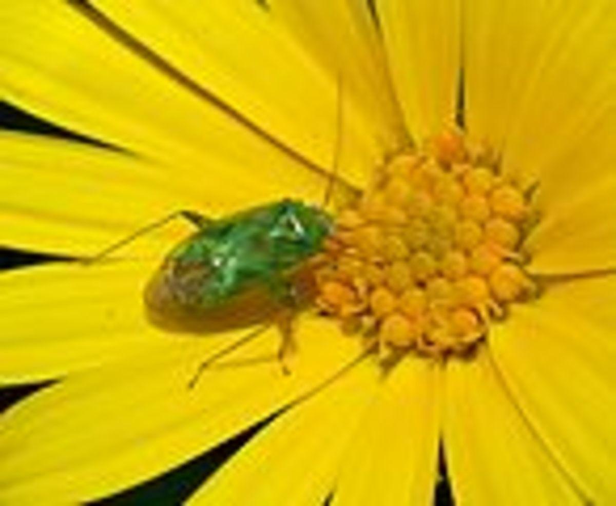 Common Green Capsid Bug
