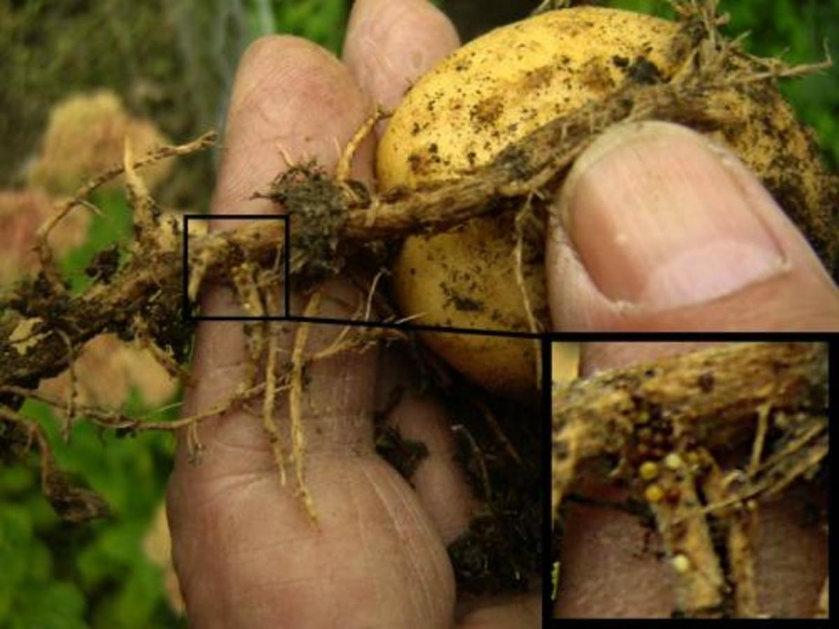 Potato root eelworm damage